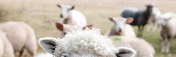 Medische schapenvacht